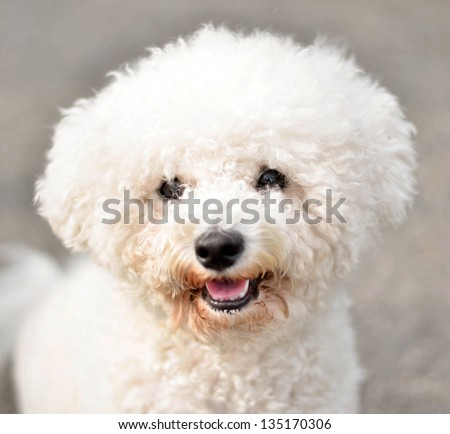 Bichon frise portrait - stock photo
