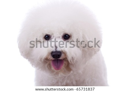 bichon frise sticking tongue out, on a white background - stock photo