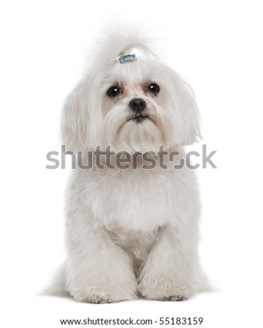 Bichon frise, 7 years old, in front of white background - stock photo