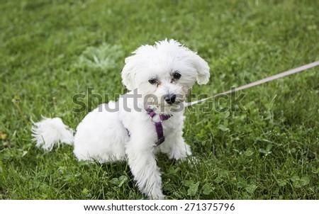 Bichon Maltese dog park, animal and nature - stock photo