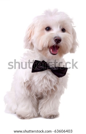 bichon maltese with mouth open and neck bow over white - stock photo