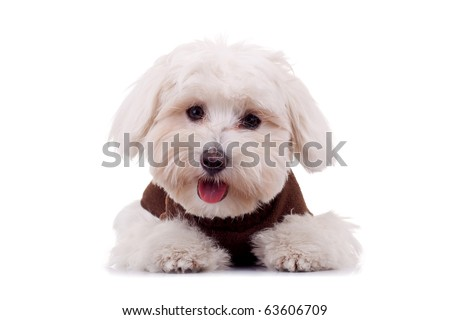 Bichon puppy with clothes isolated on white , looking at the camera - stock photo