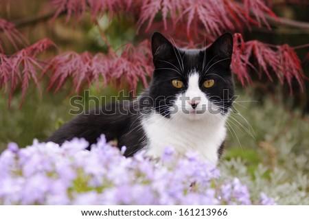 Bicolor cat, black white, in a flowering garden - stock photo