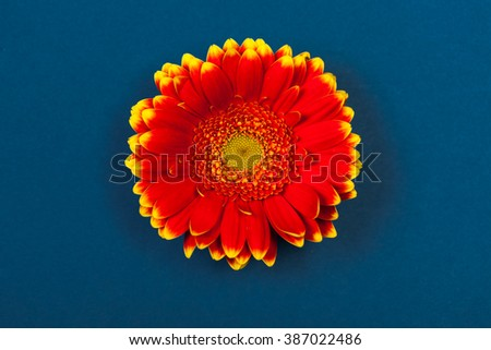 Bicolor red yellow gerbera daisy, high angle view, on blue background.