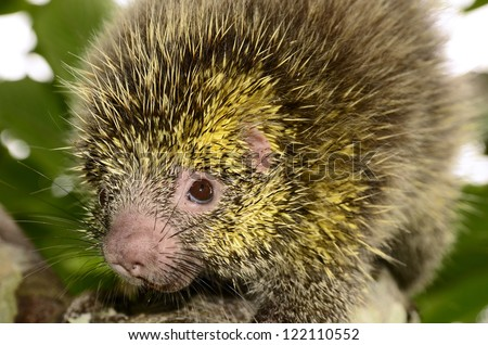 Bicolored-spined porcupine (Coendou bicolor) - stock photo