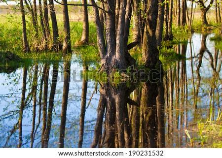 Biebrza submerged forrest - stock photo