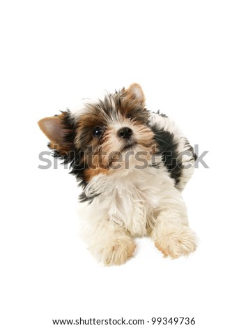 Biewer terrier puppy isolated on white background