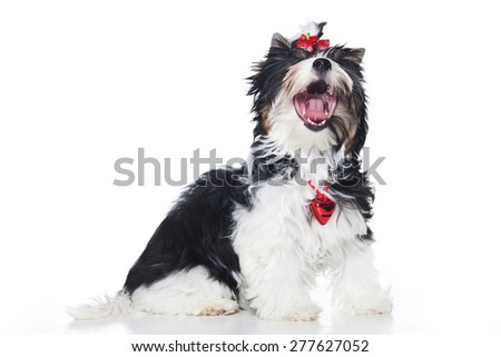 Biewer Terrier puppy sits and yawns (isolated on white) - stock photo