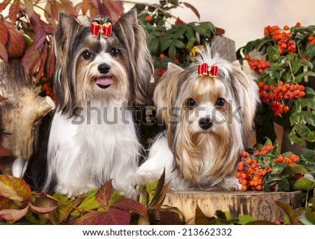 Biewer Yorkshire Terrier - stock photo