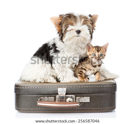 Biewer-Yorkshire terrier and bengal cat sitting on a retro bag. isolated on white background - stock photo