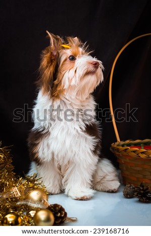 Biewer Yorkshire Terrier and Christmas decorations.