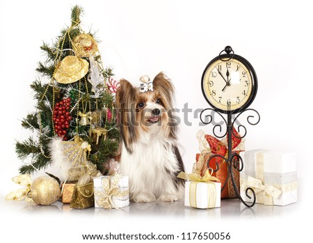 biewer Yorkshire terrier and Christmas Gift - stock photo