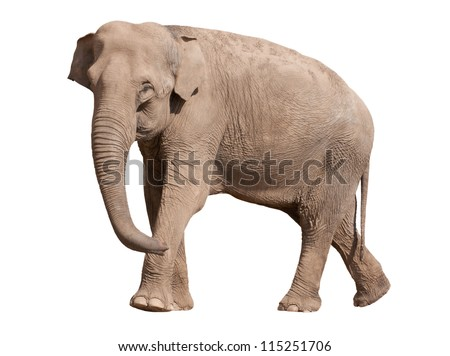 Big adult Asian elephant isolated on white - stock photo