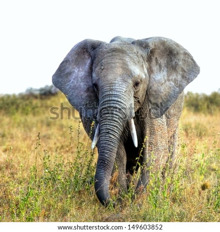 big african elephant walking towards the photographer  - stock photo