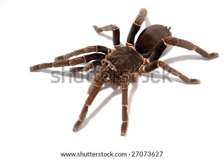 big african theraphosid spider on a white background