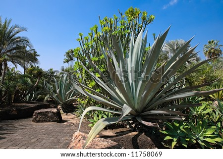 Big agave in palm and cactus garden in Thailand in sunny summer day - stock photo