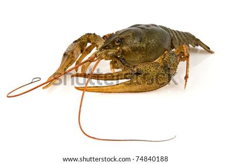 big alive crayfish on a white background - stock photo