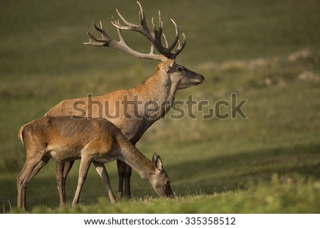 Big and beautiful red deer in the nature habitat in Czech Republic - stock photo