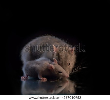 big and little gray rats - stock photo