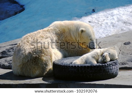 Big and small polar bears sleeping in the zoo - stock photo