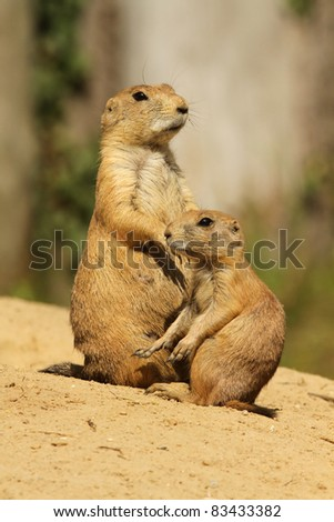 Big and small prairie dog (focus on the little one) - stock photo