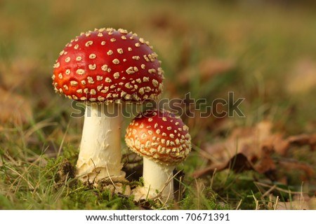 Big and small toadstool - stock photo