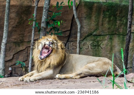 Big angry lion lying on the rock, Nature - stock photo