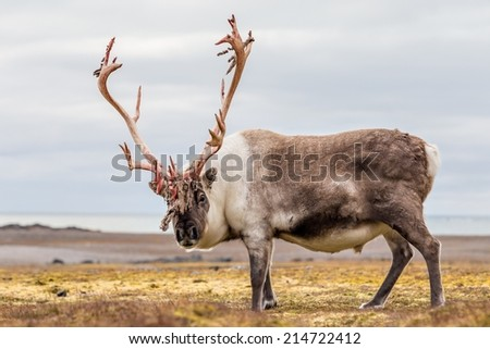 Big Arctic reindeer preparing to shed his antlers. - stock photo