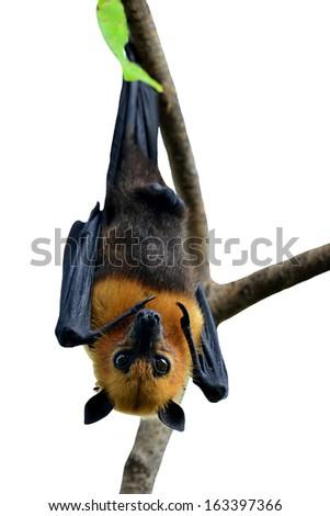 Big Bat or Hanging Flying fox isolated on white background - stock photo