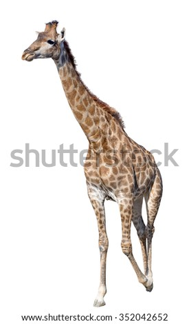 big beautiful Giraffe isolated on white background - stock photo