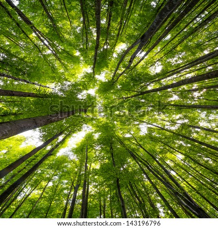 big beech trees in spring time - stock photo