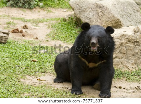 big black bear - stock photo