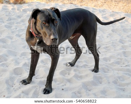 Big black dog standing on sand