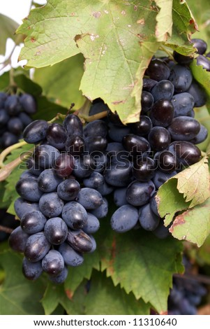 Big black grape in Krasnodar region, south Russia