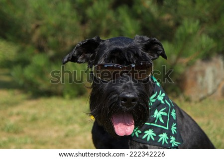 Big Black Schnauzer Dog has glasses  on its eyes and scarf textured with cannabis leaves has around its neck.