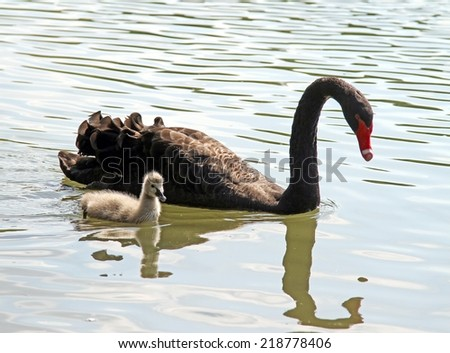Big Black Swan with little duckling in the pond - stock photo