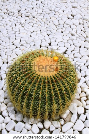 big blossoming lonely cactus - stock photo