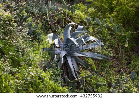 Big blue agave plant in garden, Teneriffe, Spain. Tequila - stock photo