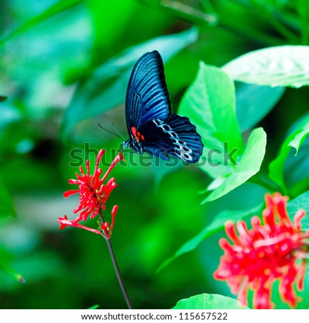 Big Blue butterfly, Bali, Indonesia - stock photo