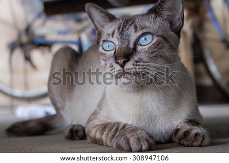 Big blue eyes cat under the car staring at a mouse. - stock photo
