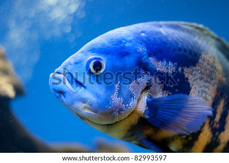 Big blue fish in aqurium. Underwater
