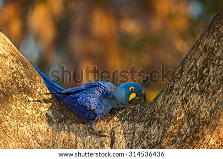 Big blue parrot Hyacinth Macaw, Anodorhynchus hyacinthinus, in tree nest cavity, Pantanal, Bolivia, South America - stock photo