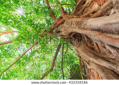 Big bodhi tree with green leaves close up