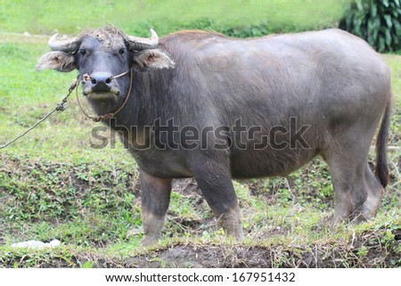 big body water buffalo stand on grass field in forest, wildlife animal, Chiang Mai, Thailand