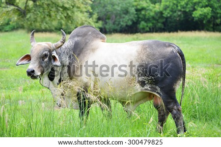 Big Brahma Bull Feeding Green Tall Stock Photo Safe To Use