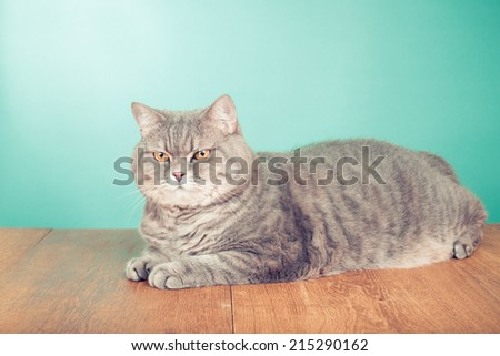 Big British Shorthair cat with yellow eyes lay front mint green background - stock photo