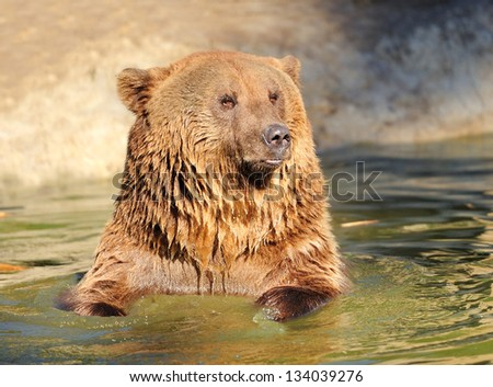 Big brown bear in a water - stock photo