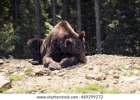 Big Brown Bear in the forest. Predatory brown grizzly bear in the wild world
