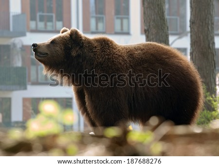 big brown bear standing on town houses background - stock photo