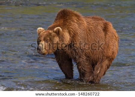 Big Brown Bear With a Pronounced Hump A huge grizzly at Katmai National Park, Alaska - stock photo